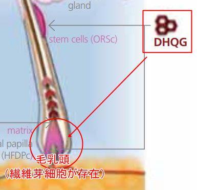 毛乳頭・線維芽細胞