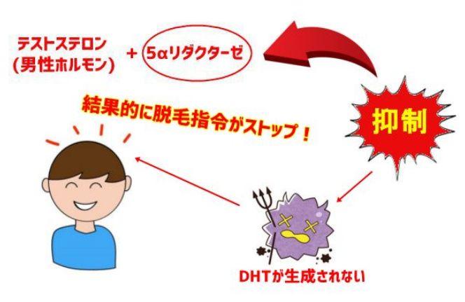 5αリダクターゼ抑制・組織図02