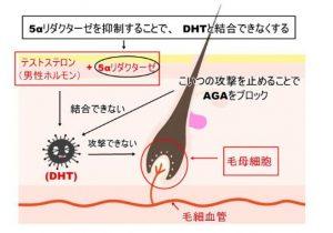 5αリダクターゼ・抑制効果