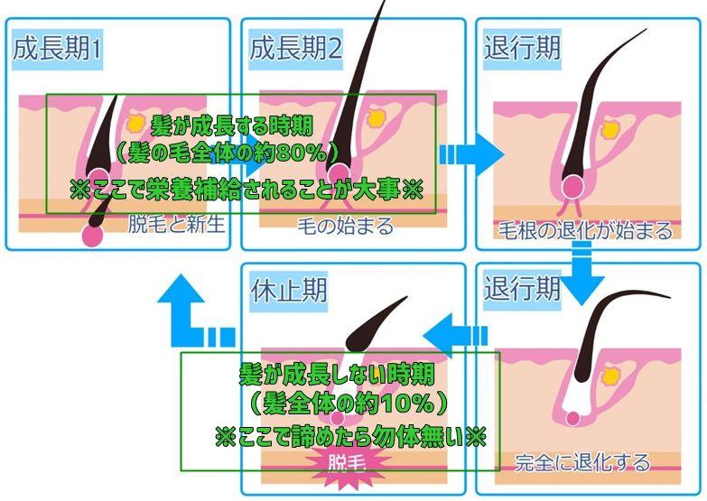 育毛剤・効果期間02