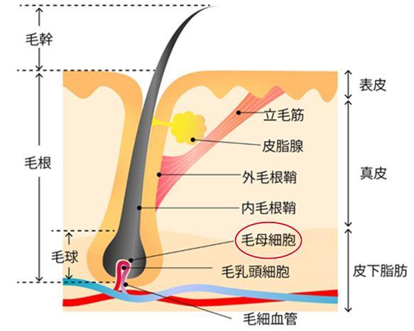 毛母細胞の活性化することでヘアサイクルが正常化