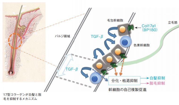 毛母細胞の活性化に幹細胞が重要な理由