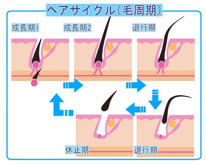毛母細胞の活性化することでヘアサイクルが正常化02